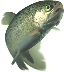 Fresh rainbow trout in the continuous sale